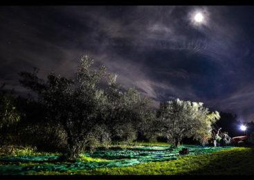 """Tuscia: La storia del recupero di oliveti abbandonati   dà vita a un Olio """"…diNotte"""""""