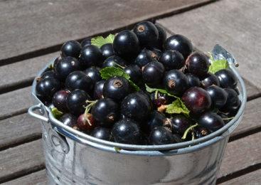 Ribes nero e le sue proprietà