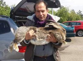 Giosuè': il coniglio più grande del mondo