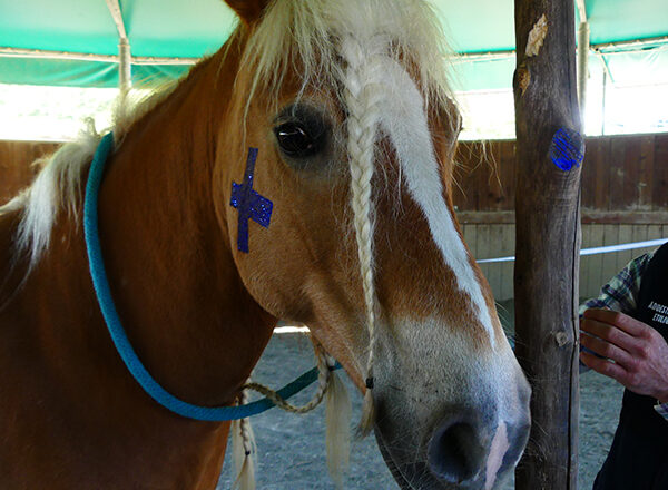 I cavalli si riconoscono allo specchio