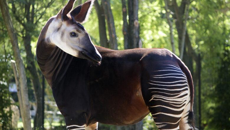 Gli okapi del Parco Zoo Falconara diventano una favola