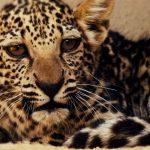 Arabia Saudita- La Royal Commission for AlUla annuncia la nascita di un cucciolo di leopardo arabo