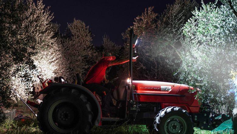 Montefiascone- La raccolta notturna degli uliveti recuperati dall'abbandono